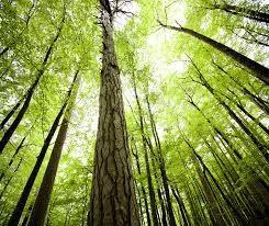 Bosque coníferas. Foto wwf